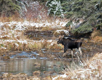Bull Moose. Walks across a creek.  Late autumn in Riding Mountain National Park, Manitoba, Canada Royalty Free Stock Image