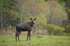 Bull Moose Stock Photography