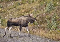 Bull Moose Alberta Stock Photos