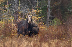 Cow moose Alces alces and calf grazing in a field. In Algonquin Park Stock Image