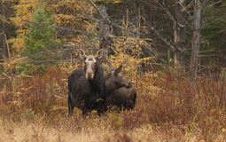 Cow moose and calf grazing in a field. Cow moose Alces alces and calf grazing in a field in Algonquin Park Stock Photography