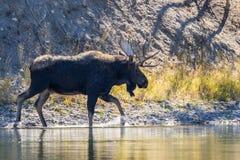 Bull Moose Along River Royalty Free Stock Image