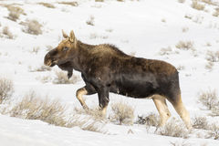 Bull moose, without antlers, walking on deep snow Royalty Free Stock Photography