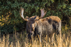 Bull Moose Royalty Free Stock Photos