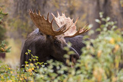 Bull Moose in Autumn Close Up Royalty Free Stock Photos