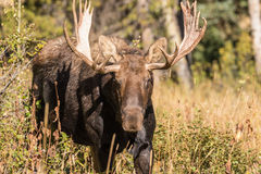 Bull Moose in Autumn Stock Images