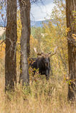 Bull Moose in Autumn Rut. A bull shiras moose during the fall rut in Wyoming Stock Photos