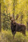 Bull Moose in Autumn Stock Photography
