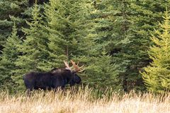 Bull Moose in Autumn Stock Image