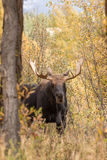 Bull Moose in Autumn Royalty Free Stock Photography