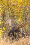 Bull Moose Bedded in Fall Royalty Free Stock Photo