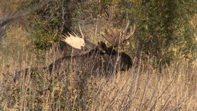 Bull Moose Bedded in the Fall Rut stock video