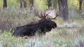 Bull Moose Bedded stock footage