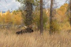 Bull Moose Bedded Stock Photo