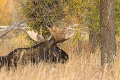 Bull Moose Bedded in Tall Grass Royalty Free Stock Photo