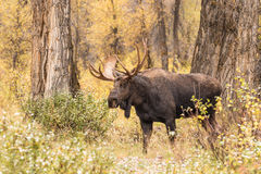 Bull Moose. A big bull moose in teton national park wyoming in autumn Royalty Free Stock Photography