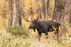 Bull Moose royalty free stock photography