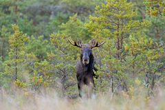 Bull moose in bog Stock Image