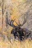 Bull Moose Royalty Free Stock Photo