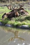 Bull Moose & Bull Moose Reflection in the Alaska Wildlife Conservation Center. This is a photo of two bull moose & a moose reflection taken at the Alaska Royalty Free Stock Image