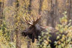 Bull Moose Close Up Stock Image