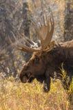 Bull Moose Close Up Royalty Free Stock Photography