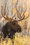Bull Moose Close Up Portrait Royalty Free Stock Images