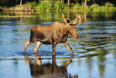 Bull Moose Crossing a River. With his reflection showing in the water Royalty Free Stock Images