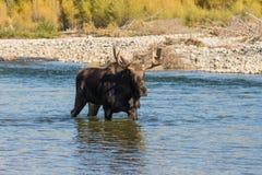 Bull Moose Crossing River Stock Photo