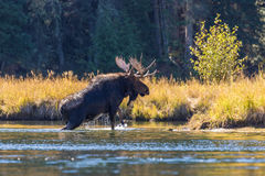 Bull Moose Crossing River Royalty Free Stock Photography