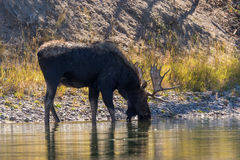 Bull Moose Drinking in River Royalty Free Stock Photo