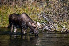 Bull Moose Drinking from River stock photo