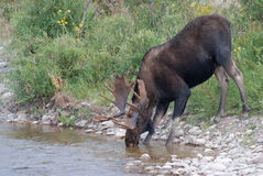 Bull Moose Drinking from Stream Stock Photos