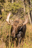 Bull Moose in Fall Royalty Free Stock Photo