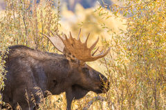 Bull Moose in Fall Stock Photos