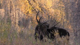 Bull Moose in Fall stock video footage