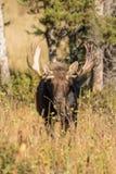 Bull Moose in Fall Royalty Free Stock Photo