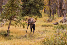 Bull Moose in Fall Royalty Free Stock Images