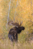 Bull Moose in the Fall Rut Royalty Free Stock Photo