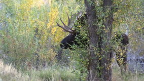 Bull Moose in the Fall Rut stock footage