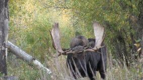 Bull Moose in Fall Rut stock footage