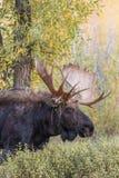 Bull Moose in Fall Rut Royalty Free Stock Photo