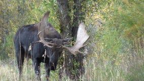 Bull Moose in Fall Rut Zoom stock video