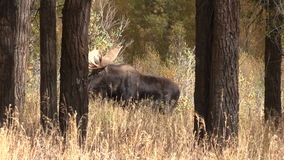 Bull Moose in the Fall stock video
