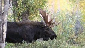 Bull Moose in Fall stock footage