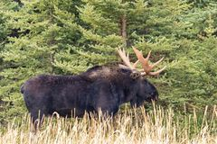 Bull Moose in Fall Stock Photography