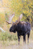 Bull Moose in Fall Royalty Free Stock Image