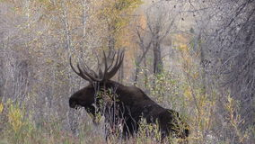 Bull Moose in Fall in Teton N.P. stock footage