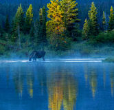 Bull Moose Feeding In Lake Stock Image