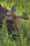 Bull moose feeding Stock Image
